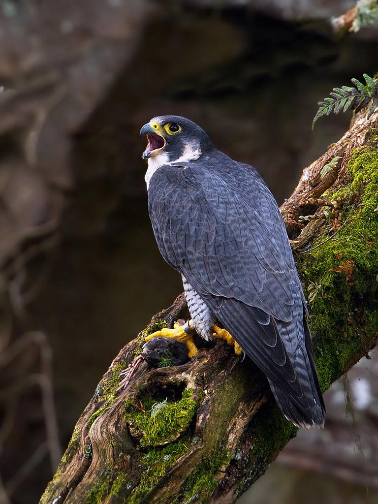 Falcon (c) Chas Moonie