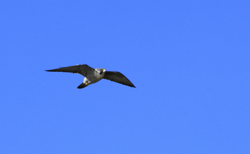 Peregrine in flight (cc) minicooper93402