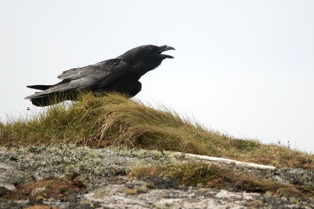 Raven (c) Amy Lewis