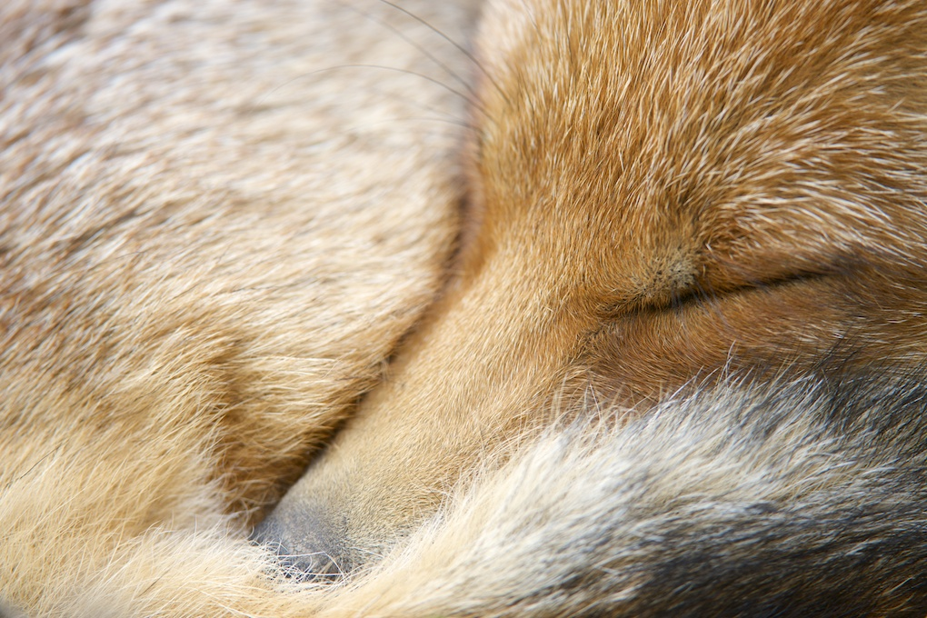 Sleeping fox (c) Richard Bowler