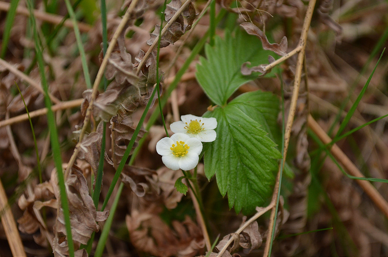 Wild Strawberry Flower (c.c) Anna Quizt