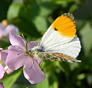 Orange-tip butterfly on a cuckoo flower (c) Angle Shades