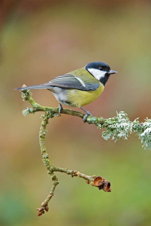 Great tit (c) Richard Bowler