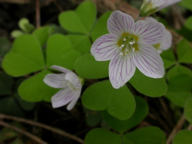Wood Sorrel (c) Philip Precey