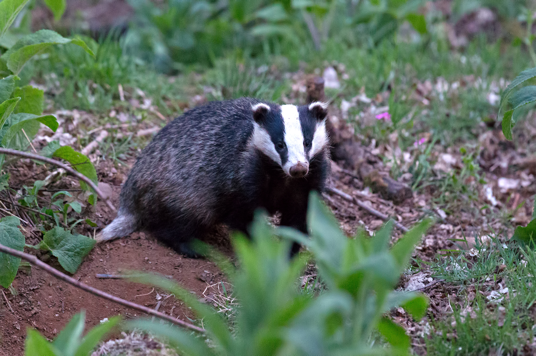 Badger (c) Chas Moonie