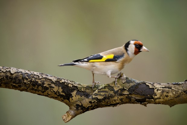 Goldfinch (c) Neil Aldridge