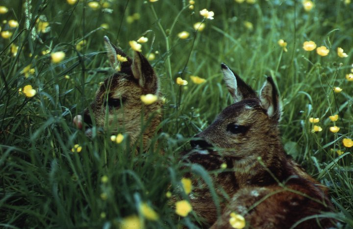 Roe fawns (c) Scottish Wildlife Trust