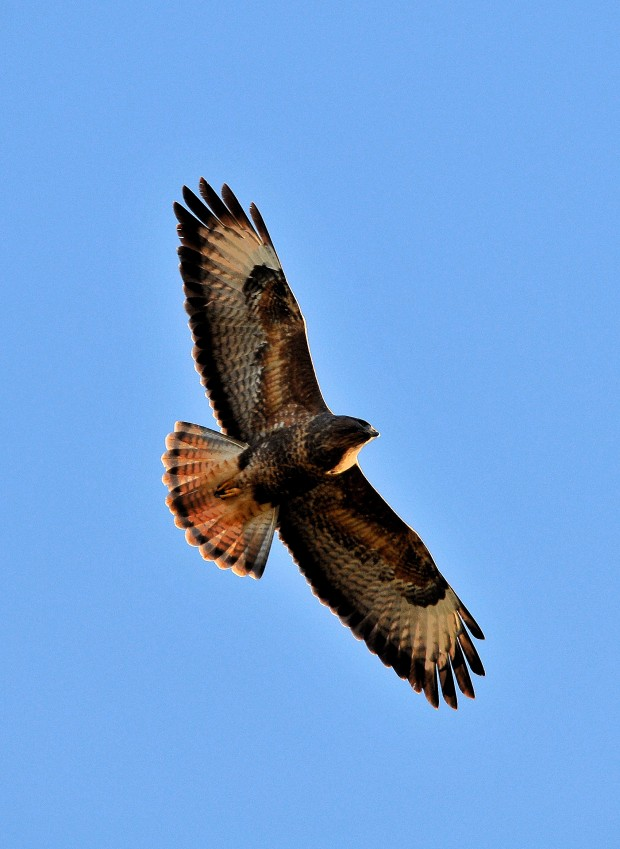Buzzard (c) Steve Waterhouse