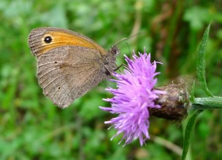 Meadow Brown (c) gailhampshire