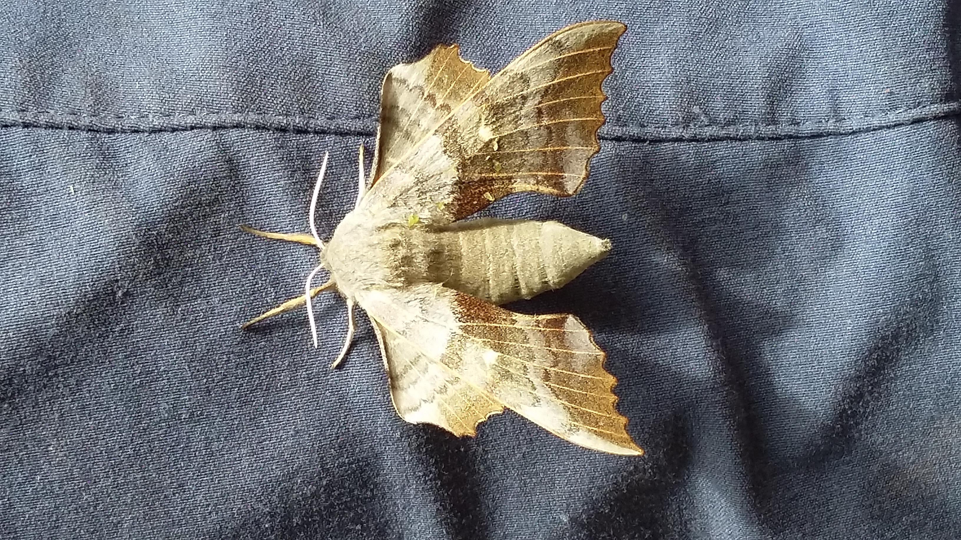 Poplar Hawk-Moth (c) Lori Moore