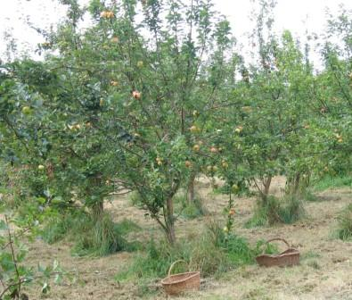 Apple harvest (c) Janice Clelland