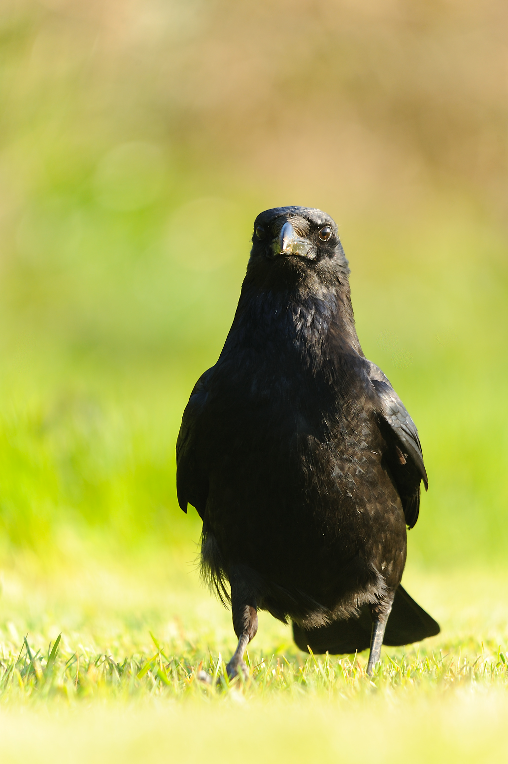 Carrion Crow (c) Amy Lewis