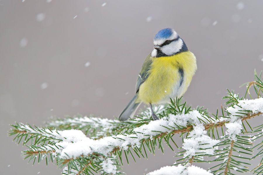 Blue tit in the snow (c) Richard Bowler