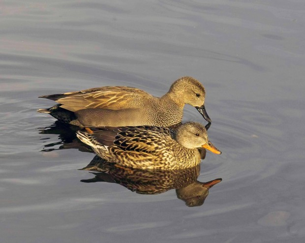 Male (back) and female (front) Gadwall (c) Derek Moore