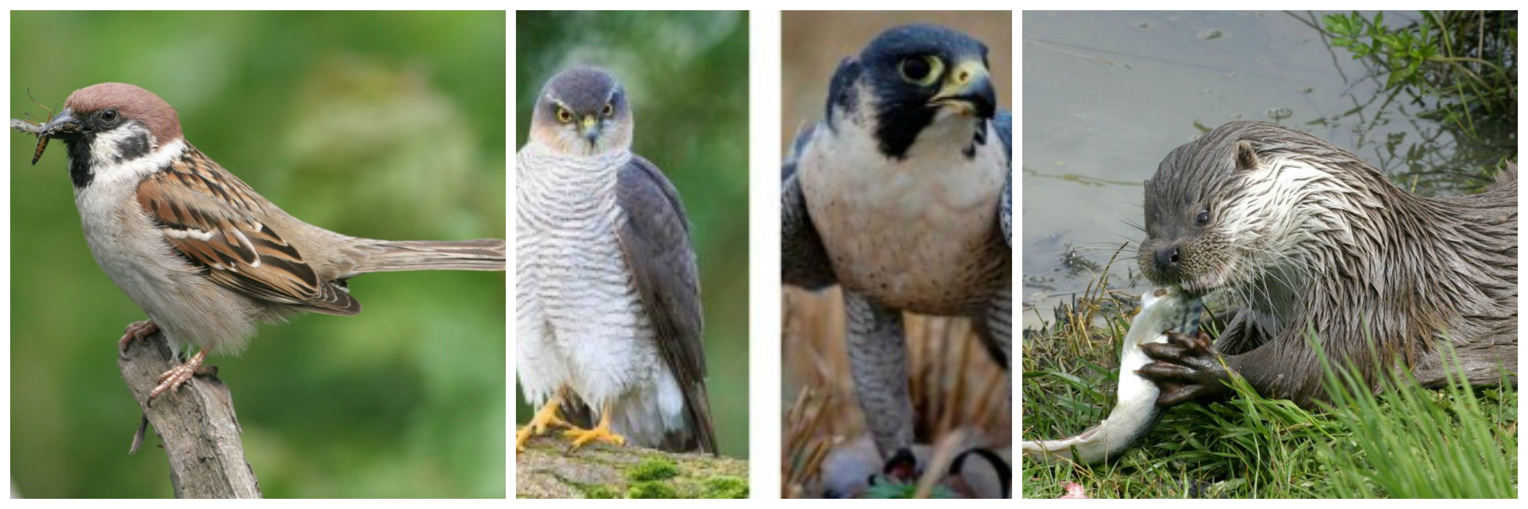 Tree sparrow (C Mike Snelle), Sparrowhawk, Peregrine falcon and Otter (C SWT)