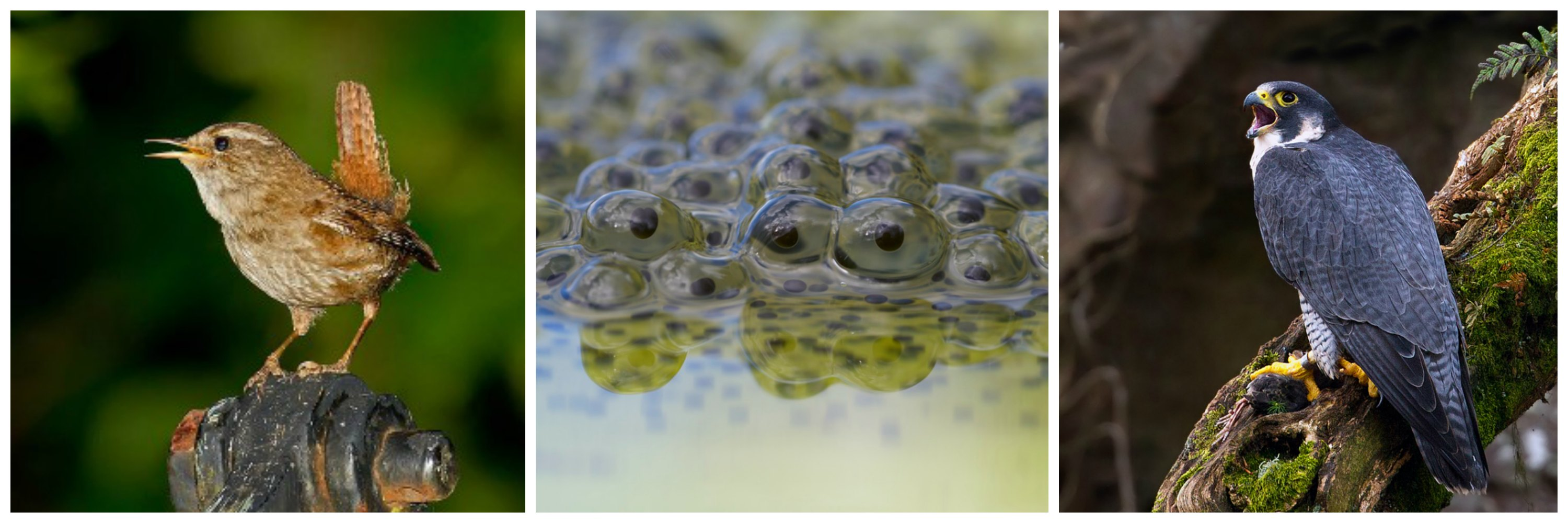 Wren (C Andreas Trepte), frog spawn (C Richard Bowler) and Peregrine Falcon (C Chas Moonie)