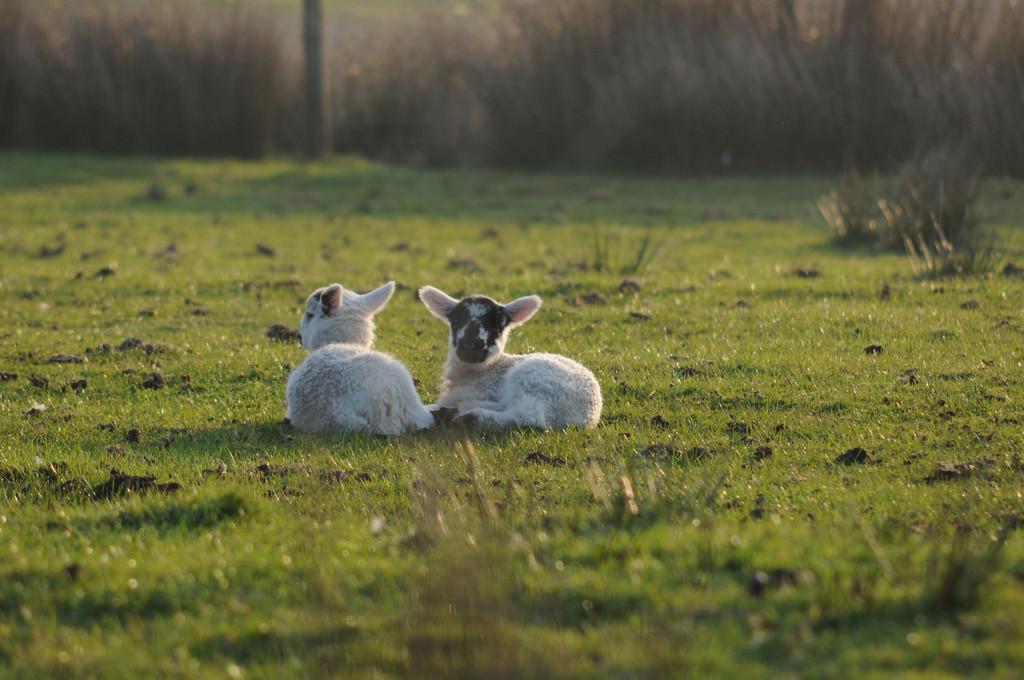 Lambs (c) sk8geek