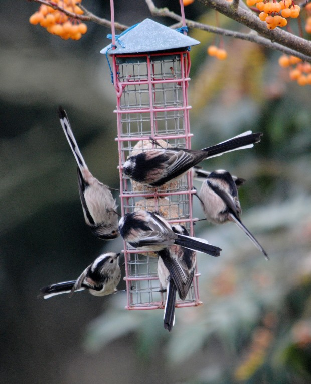 Long tailed tits on feeder (c) Amy Lewis