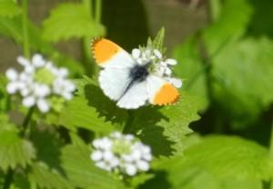 Orange Tip (c) Scottish Wildlife Trust