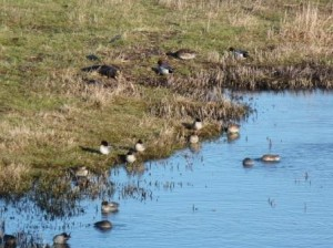 Teal and wigeon in Salt Pans (c) Scottish Wildlife Trust