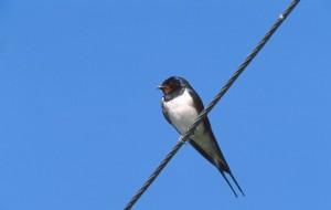 Swallow (c) Niall Benvie