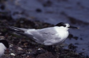 Sandwich tern (c) Scottish Wildlife Trust