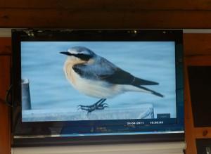 Webcam footage of wheatear on tern raft (c) Scottish Wildlife Trust