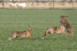 Brown hares (c) Steve Gardner