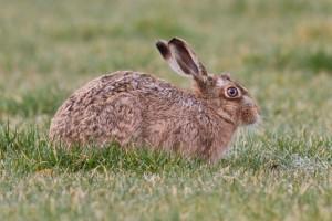 Brown hare resting (c) Steve Gardner