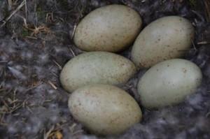 Eider nest (c) Scottish Wildlife Trust