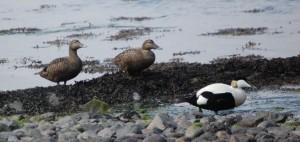 Female & male eiders (c) Scottish Wildlife Trust