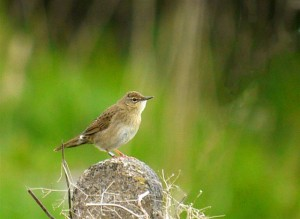 Grasshopper warbler on Mains of Dun (c) Jon Cook