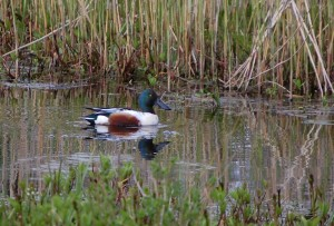 Male shoveler (c) Scottish Wildlife Trust