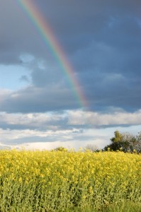 Oil seed rape and rainbow at Montrose Basin (c) Scottish Wildlife Trust