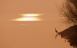 Heron at dawn, Montrose Basin (c) Niall Benvie