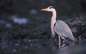 Grey heron (c) Niall Benvie