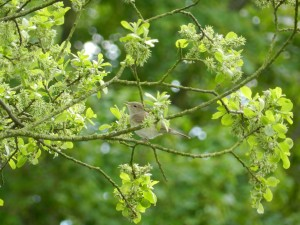 Garden Warbler (c) Scottish Wildlife Trust