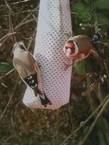 Goldfinches on feeder (c) Scottish Wildlife Trust