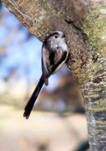 Long-tailed tit (c) Scottish Wildlife Trust