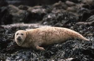 Common seal (c) Scottish Wildlife Trust