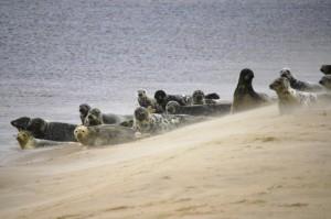 Common seals on beach (c) DC