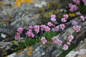 Thrift (c) Scottish Wildlife Trust