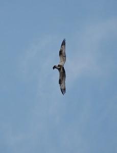 Twisting osprey (c) Adam McClure