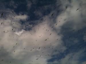 Terns flying overhead (c) Scott O'Hara, Scottish Wildlife Trust