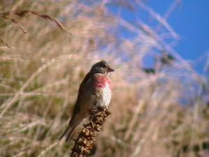 Linnet (c) Scottish Wildlife Trust