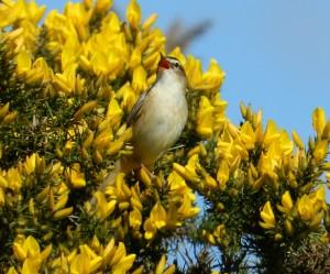 Singing sedge warbler (c) Scottish Wildlife Trust