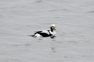 Long Tailed Duck (c) Richard Blackburn