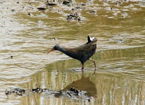 Water Rail (c) SWT