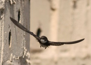 Sand Martin at Montrose Basin (c) Richard Blackburn
