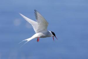 Arctic Tern (c) SWT